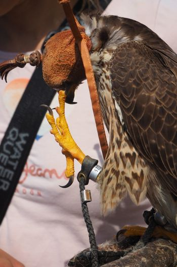 Falconry in