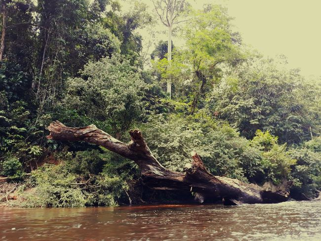 green rainforest in taman negara pahang malaysia Tamannegarapahang Kualatahan Rainforest River Green Forest Photography Forest Dead Tree Tree Water Branch Lake Sky Close-up
