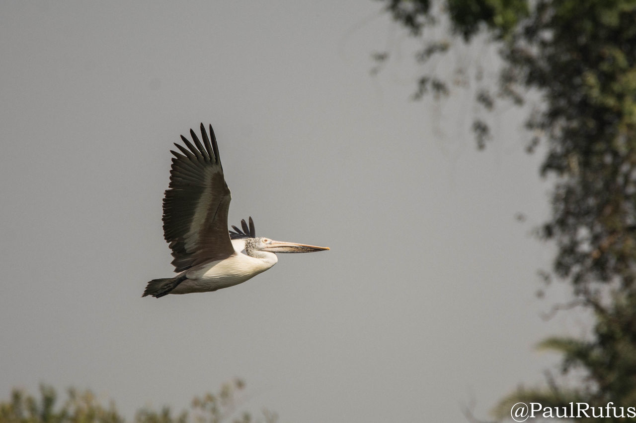 animals in the wild, animal themes, bird, animal wildlife, one animal, nature, focus on foreground, day, flying, tree, outdoors, spread wings, no people, beauty in nature, clear sky, gray heron, close-up, sky