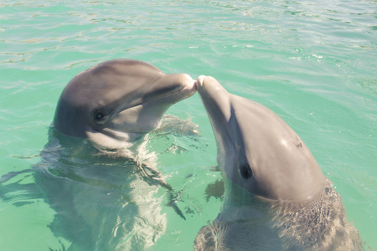 View of dolphins kissing in sea