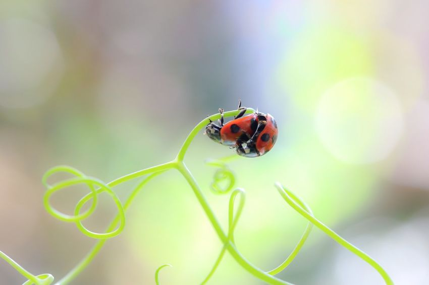 Spring is the season of love🐞💖🐞 Ladybug Macro Nature Macro Beauty Macro Insects Insect Spring Animal Themes Animals In The Wild Plant Two Is Better Than One Green Color Close-up Fragility In My Garden Getting Inspired EyeEm Gallery EyeEm Nature Lover