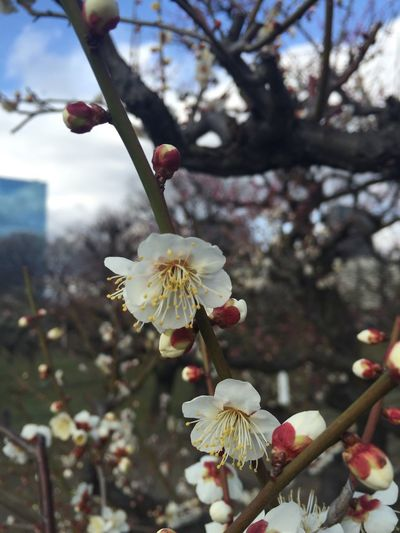 Lovely 梅林 Flowers Flower 大阪城 Osaka,Japan OSAKA 大阪 梅 Ume Plum Plum Flower Plum Blossom Love