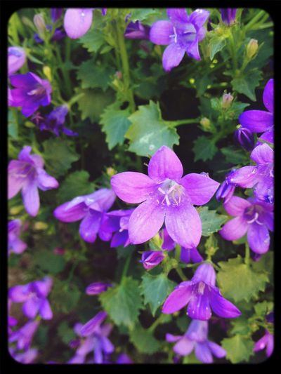 Spring Flowers Campanula Macroclique