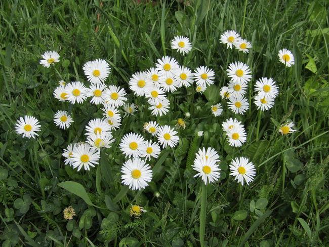 Flower Fragility Growth Nature Freshness Green Color Gänseblühmchen Daisies Flowers Daisies Between Grass Daisies