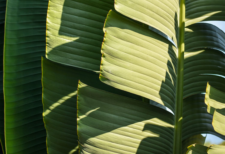 Natural background from traveler's palm fan shape leaves subjected to morning light. Selective focus. Natural Shade Textures and Surfaces Abstract Backgrounds Banana Leaf Beauty In Nature Botanical Branch Fan Shaped Green Color Leaf Madagascar  Musaceae Organic Outdoors Palm Leaf Petiole Plant Plant Part Ravenala Selective Focus Sunlight Traveller's Palm Tropical Plants