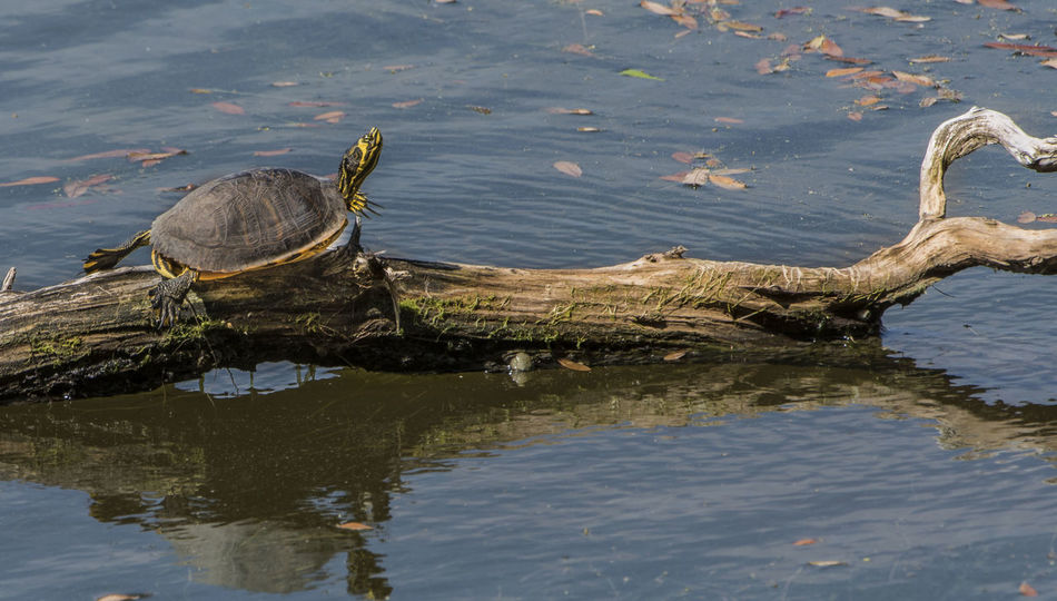 Animal Wildlife Brays Island Day Environmental Conservation Lake Love Nature No People Outdoors Reptile South Carolina Turtle Water