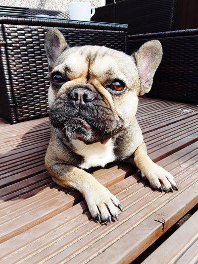 This is Bear Dogs mum , Lola ❤ Sunbathing Dog Dog Face Boy Dog Faces Getty Images Getty Getty X EyeEm Getty+EyeEm Collection Dog Face Expression Dogs Of EyeEm Lola❤️ Lola 💙 Pets Portrait Dog Looking At Camera Close-up French Bulldog