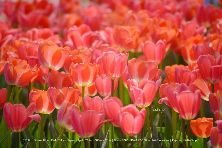 Tulip - Showa Kinen Park, Tokyo, Japan | April, 2014 | Nikon D600+SIGMA 70-300mm Macro | Capture NX-D+Gimp Flower Flowers Japan Tulips