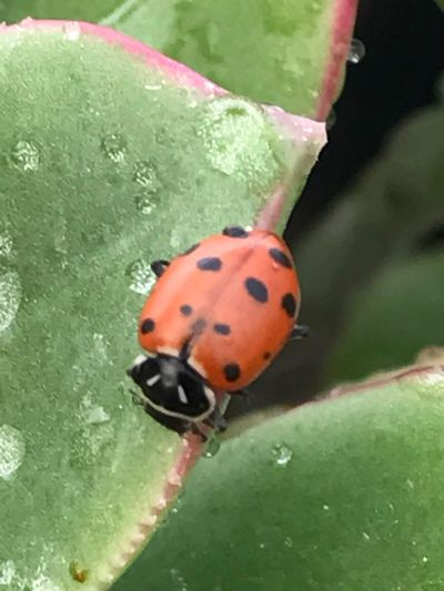 Insect Ladybug Close-up Leaf Nature Plant Spotted No People Growth Beauty In Nature Day Fragility Biological Pest Control In The Greenhouse Tranquility Hill Farm Clifton Springs Ny Succulents Water Tiny