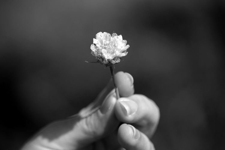 Cropped Image Of Person Holding Flower