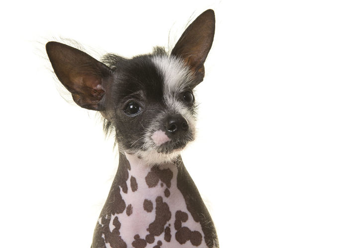 Portrait of a chinese crested puppy dog on a white background Chinese Crested Puppy Animal Animal Themes Chinese Crested Chinese Crested Dog Cute Dog Domestic Animals No People One Animal Pets Portrait Puppy Studio Shot White Background