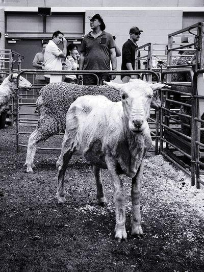 Sheep Easter Close-up Animal Men Full Length Women Group Of People