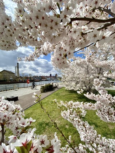 View of cherry blossom against sky