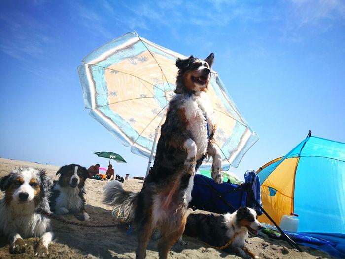 Pet Portraits EyeEm Selects Pet Aussies Australianshepherd