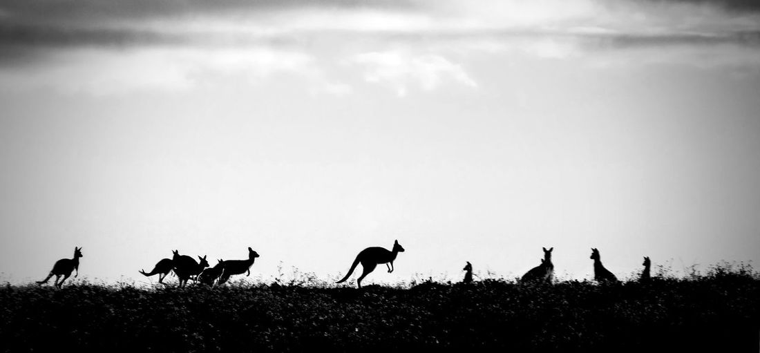 Kangaroo silhouettes, Western Australia. Animals Australia Australia Travel Beauty In Nature Black And White Holiday Kangaroo Silhouettes Kangaroos Marsupial Nature Outback Outdoors Silhouettes Sky Symbol Tourism Travel Vacation Western Australia