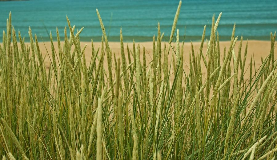 On the beach in the Scottish north. 29th July 2013 Tall Grasses Beach Ocean Low Shots Scottish North