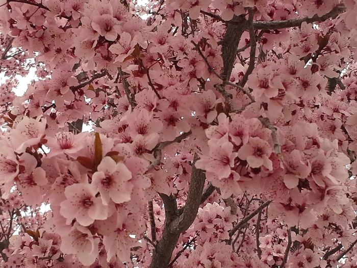 Backgrounds Beautiful Pink Blosso Beautiful Tree Beauty In Nature Blossom Branch Close-up Day Flower Flower Head Flowering Plum Tree Fragility Freshness Full Frame Growth Low Angle View Nature No People Outdoors Pastel Colors Pink Color Plum Blossom Sky Tree Wild First Eyeem Photo