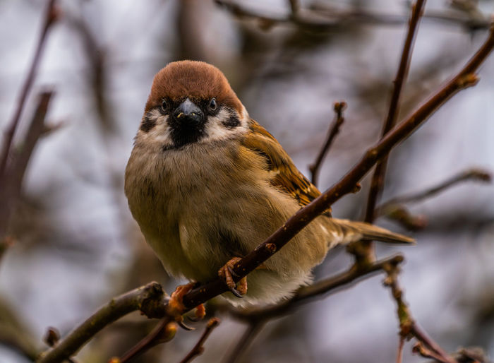 Eurasian Tree Sparrow in the evening sun Animal Themes One Animal Animal Tree Branch Animals In The Wild Close-up Bird No People Nature Selective Focus Outdoors Eurasian Tree Sparrow Evening
