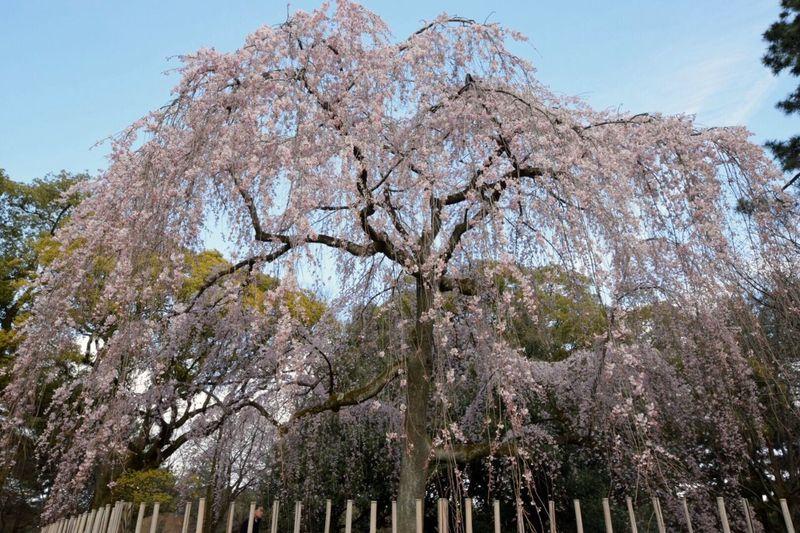 枝垂れ桜 京都 3月 NIKON D5300 EyeEm Japan EyeEm Best Shots 桜 花 Eyemphotography 京都御苑 EyeEmBestEdits Cherry Blossoms