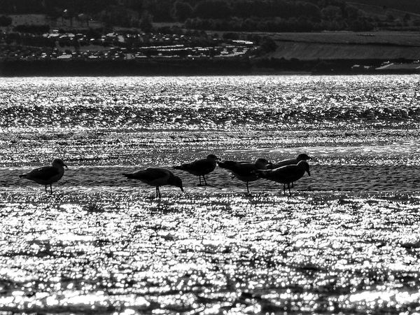 Animal Themes Animals In The Wild Sand Day Nature Outdoors No People Animal Wildlife Sunlight Water Beach Shadow Bird Tentsmuir Forest Scotland Scottish Landscape Blackandwhite Photography Scottishrowan Olympus Om-d E-m10
