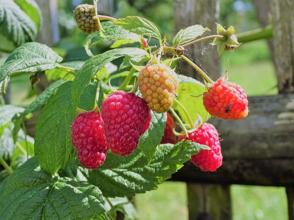 Malina Agriculture Beauty In Nature Branch Close-up Day Focus On Foreground Food Food And Drink Freshness Fruit Green Color Growth Hanging Healthy Eating Lampone Leaf Nature No People Outdoors Plant Raspberry Red Tree 莓