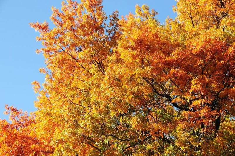 🍁 Autumn Change Tree Leaf Nature Beauty In Nature Orange Color Outdoors Low Angle View Growth Day No People Tranquility Branch Scenics Tranquil Scene Yellow Sky