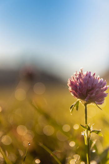 Clover in morning light Copy Space Copyspace Summer Sun Summer Morning Nature_collection Nature Photography No People Clover Summer Sun Morning Nature Germany Flower Green Flower Head Flower Defocused Uncultivated Pink Color Petal Sky Close-up Plant Plant Life Flowering Plant Wildflower Dew Focus
