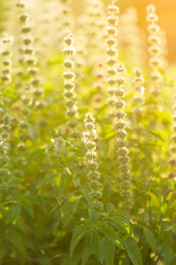 airy Basil in the garden with sunset Plant Growth Beauty In Nature No People Nature Close-up Leaf Sunlight Plant Part Freshness Agriculture Day Green Color Selective Focus Cereal Plant Tranquility Crop  Outdoors Food Food And Drink