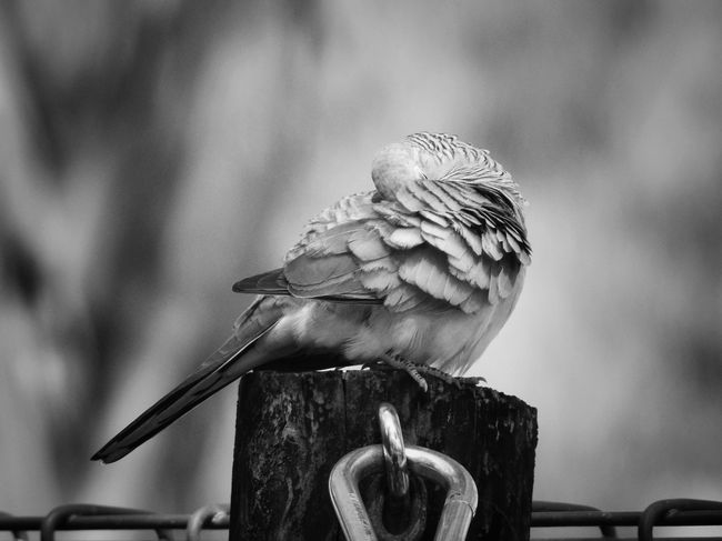 Sleeping dove Australia Australian Bird Sleeping Dove Animal Animal Wildlife Bird Animal Themes Vertebrate Animals In The Wild One Animal Perching Focus On Foreground No People Day Nature Close-up Wood - Material Post Beauty In Nature Outdoors Wooden Post Autumn Mood