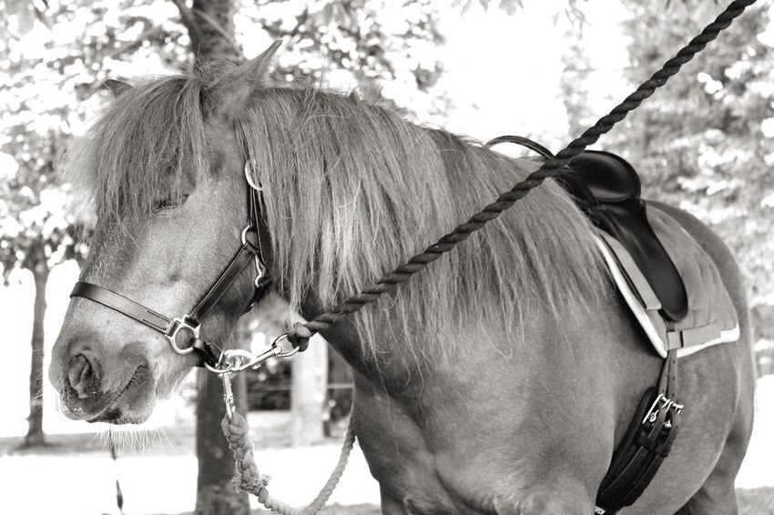 Horse Animal Domestic Animals Mammal Bridle Animal Themes Working Animal One Animal Livestock Day Outdoors No People Close-up Nature France🇫🇷 France Blackandwhite Black And White Black & White Blackandwhite Photography Daylight Animals In The Wild Outdoor Photography Horses Poney Pet Portraits EyeEmNewHere Done That.