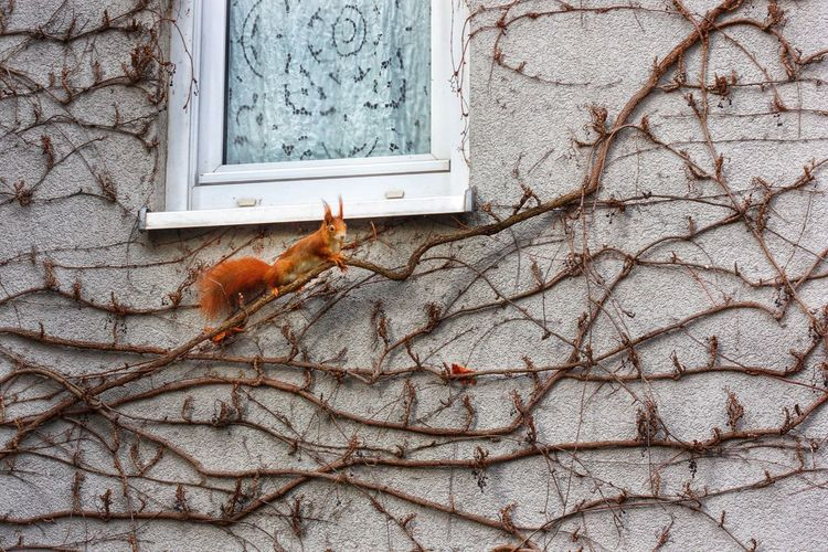 Animal Themes One Animal Built Structure Animals In The Wild Architecture No People Outdoors Day Tree Textured  Nature Close-up Deutschland Nuernberg Nuernbergcity Squirrel Wall Climbing