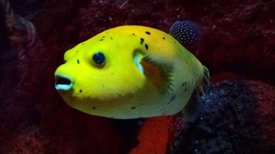 Nice Day Nice Oportolovers Oporto Porto Sealife Matosinhos Peixebalao Fish Ballon Baloon Fish Yellow Yellow Fish Aquarium Aquarium Life No Filter No Filter :) Awsome Awsome Fish Fishlovers Eye4photography  Eyem Gallery Eyem Fish