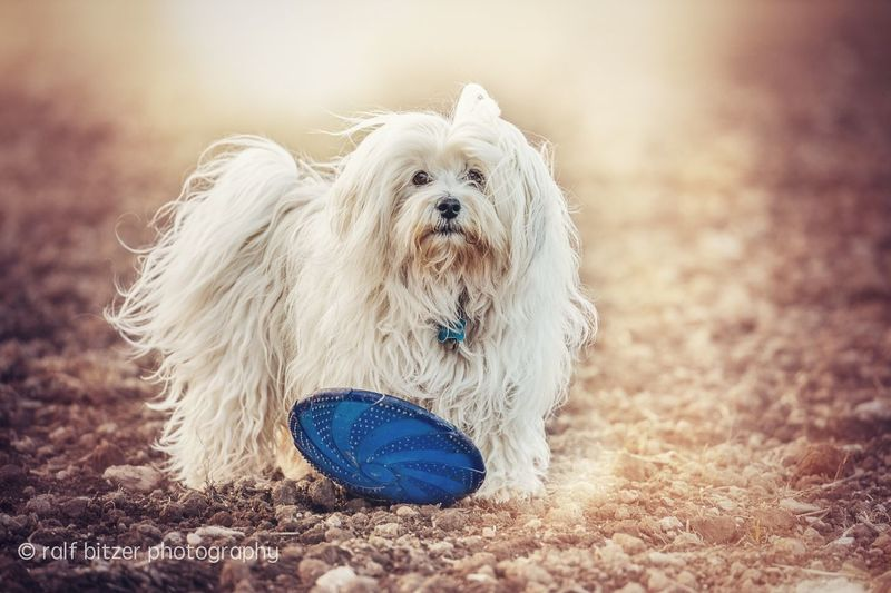 Dog Animal Themes Pets Domestic Animals One Animal Mammal Animal Hair Focus On Foreground No People Close-up West Highland White Terrier Sand Pet Clothing Beach Outdoors Day