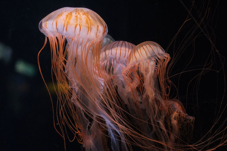 Jellyfishes. Tokyo, Japan. Animals Beauty In Nature Black Background Close-up Dark Jelly Jellyfish Natural Pattern Nature Night No People Outdoors Tranquility