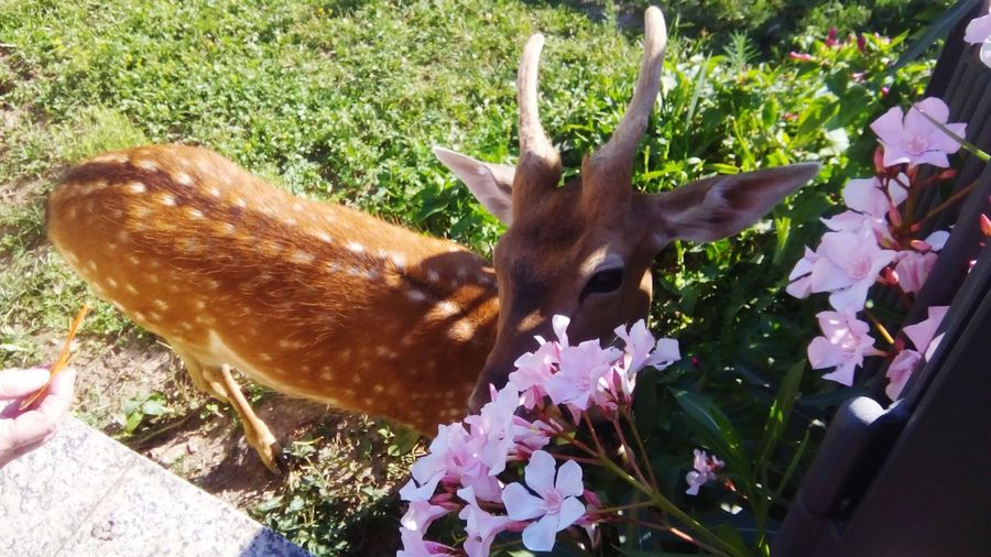 Fawn among the flowers Animal Portrait Animal Themes Animal Photography Animal Love Flowers Fawn Lying In The Grass Fawn😍 Close-up Fawn