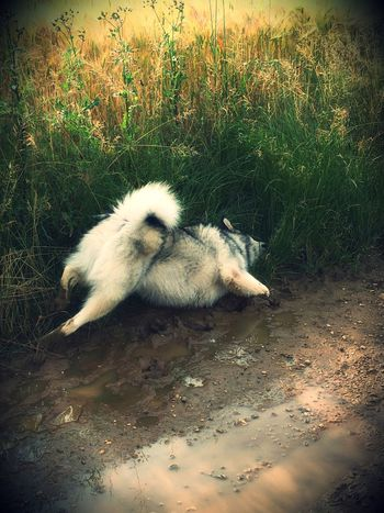 Alaskan Malamute Animal Animal Themes Beauty In Nature Close-up Day Dirty Dog Grass Ilovemydog Malamute Mammal Mud Mud Bath Nature No People Outdoors Ready For The Mud Day !!!! Relaxation Vignette