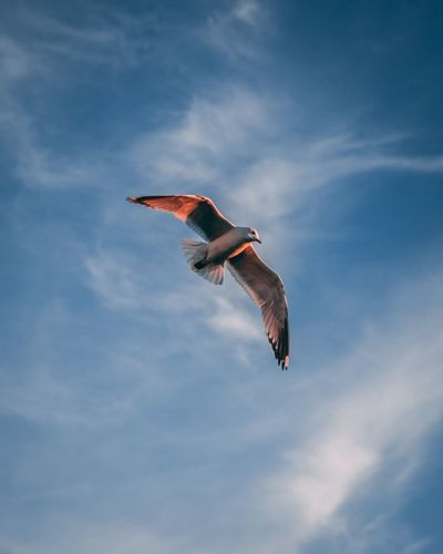 Seagull EyeEm Selects Flying Animal Animals In The Wild Animal Wildlife Animal Themes Bird One Animal Sky Cloud - Sky Vertebrate Spread Wings Nature No People Mid-air Bird Of Prey Low Angle View Outdoors Motion Animal Body Part Full Length