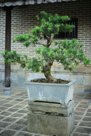 Huế throung my eyes Bonsai Bonsai Tree Garden Green Green Green Green!  Peace And Quiet Zen Zen Garden