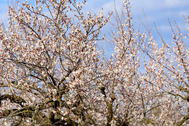 Tree Plant Blossom Flowering Plant Branch Low Angle View Flower Springtime Growth Sky Fragility Beauty In Nature Freshness Vulnerability  Cherry Blossom Day Nature Fruit Tree No People Cherry Tree Outdoors 曽我梅林