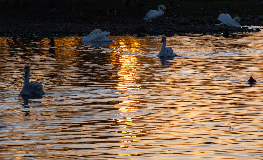 Bird Animals In The Wild Water Lake Group Of Animals Reflection Water Bird Nature Duck Outdoors Floating On Water Flock Of Birds Rippled Swans Sunset Orange Color