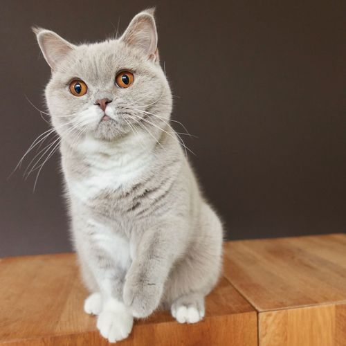 Cat sitting and giving paw British Shorthair Domestic Animals Domestic Domestic Cat Cat Feline Pets Mammal