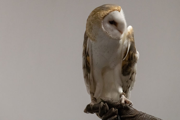 Bird Animal Wildlife One Animal Vertebrate Bird Of Prey Animals In The Wild Perching Owl Studio Shot No People Copy Space Close-up Indoors  Full Length Beak Nature Portrait Barn Owl