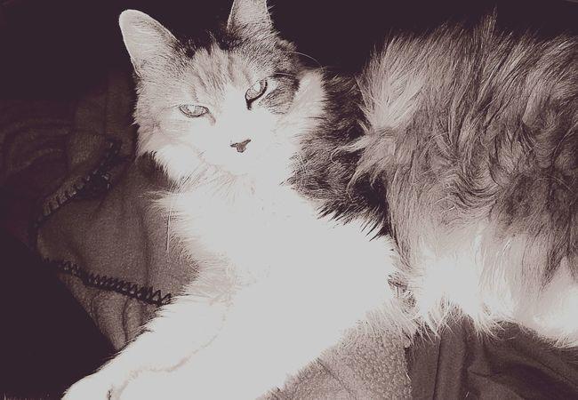 Monochrome Fluffy Cat Myoldcat Lovemycat Relaxing Catlovers Eyeemphotography Cuddlebuddy