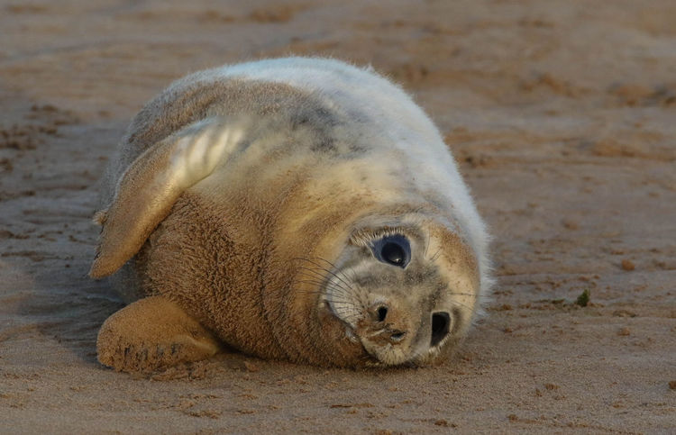 Atlantic Grey Seal Pup Wildlife Wild Nature