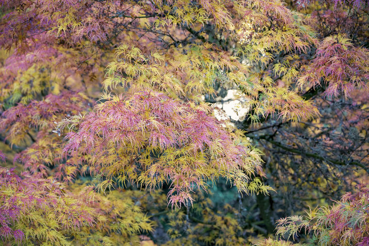 Japanese maples Autumn Beauty In Nature Change Close-up Day Environment Flower Flowering Plant Focus On Foreground Growth Land Nature No People Outdoors Pink Color Plant Purple Tranquility Tree Water