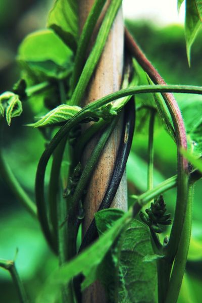 bean plant Green Color No People Close-up Plant Growth Vegetable Leaf Nature Day Freshness Outdoors Food Beauty In Nature EyeEm Nature Lover EyeEm Gallery Garden Photography Bean Plant Macro Photography Wooden