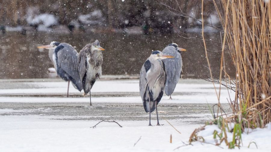 Gray Herons On Field During Winter