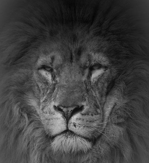 Close-Up Of Majestic Lion