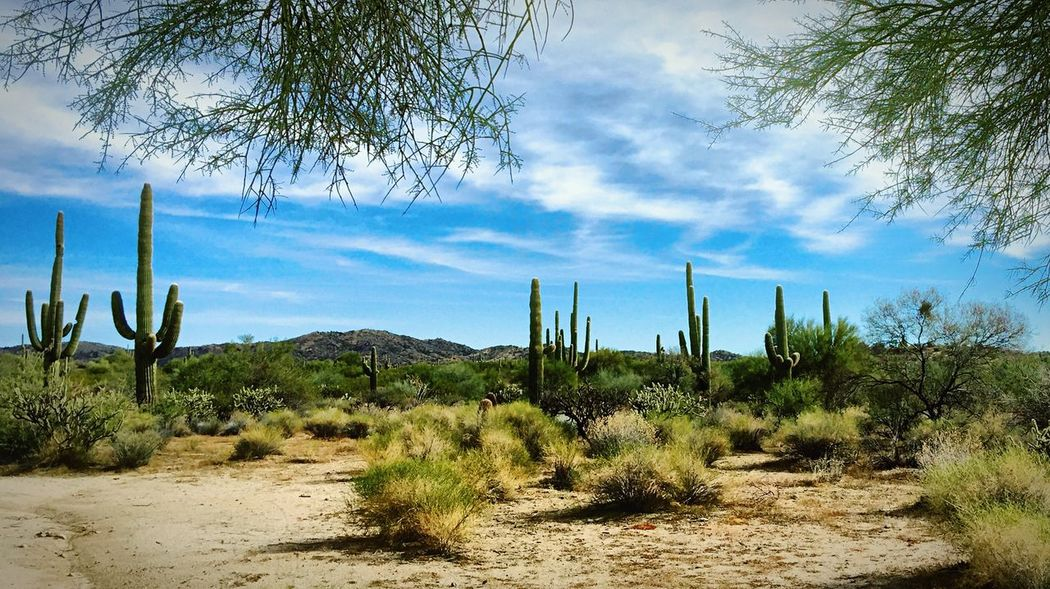 No blizzard, just lizards. Saguaros and palm trees, no pine trees. No jingle bells, just rattlesnakes. Walk'n in a desert wonderland! Enjoying Life Trees Streamzoofamily Eye Em Nature Lover Clouds And Sky Merry Christmas everyone!