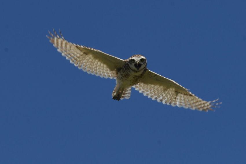 Owl Owl Fly Wings Wings Owl Animal Themes Bird Buho Fly Flying Flying Bird